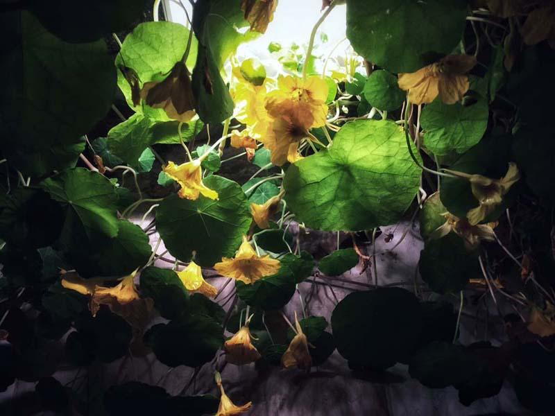 13-nasturzio-pianta-messa-a-dimora